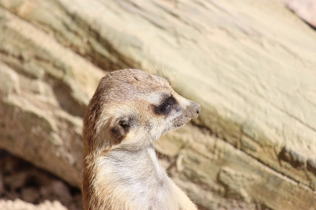 ミーアキャット 広島市安佐動物公園 斜め前を見る