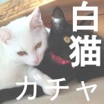 【白猫ガチャ】シェアハウスガチャ シャル・ルカ・レクトどれか出れば終了!