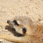 ゴールデンウィーク初日の安佐動物公園 今日もミーアキャットがかわいかった